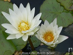 FBI: P2080948 REACH FOR YOUR DREAMS (Frozen in Time photos by Marianne AWAY OFF/ON) Tags: flowers friends white flower green nature yellow waterlily waterlilies fbi groundsforsculpture worldclass flowerlovers nationalgeographicwannabes mywinnerstrophy faithfulflickrfriends nationalgeographicareyougoodenough favoritesbyinterestingness heartawards flickrmacroaward top20white excapture flckrextraordinarycaptureaward flowerfloweria arealgem ilovemypics flowersarefabulous flowerbudsandblossoms naturegreenstar flowersexcellentcloseups nationalgeographiswannabes waterlilieslotusbloomsinviteonly