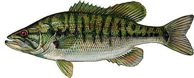 Shoal-Bass