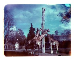 Such a perfect day (milkysoldier) Tags: polaroid zoo giraffes iduv foramandine