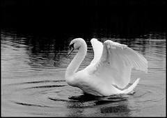 The Ballet (Kirsten M Lentoft) Tags: bw lake bird water rain denmark swan searchthebest wetlands waterfowl herlev themoulinrouge blueribbonwinner bej specanimal mywinners worldbest smørmosen theunforgettablepictures betterthangood natureselegantshots multimegashot kirstenmlentoft thedantecircle