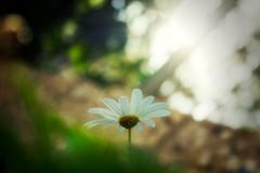 ..The Center of Attention.. (SonOfJordan) Tags: light shadow sunlight blur flower colour canon eos bokeh amman jordan daisy rays xsi 450d  samawi sonofjordan shadisamawi  wwwshadisamawicom
