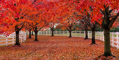 Red trees, LWPF, & a path (joiseyshowaa) Tags: county new autumn red white color tree fall leaves rural fence neck season landscape path country nj resort falling shore marlboro jersey land monmouth colts scape jerseyshore picket coltsneck joiseyshowaa joiseyshowa