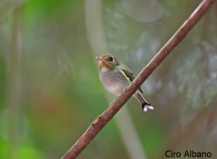 Fork-tailed Tody-Tyrant_Hemitriccus furcatus