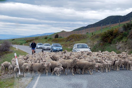sheep crossing!