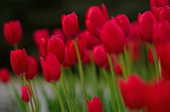(Fransois) Tags: flowers red blur art colors fleurs blurry nikon tulips bokeh couleurs qubec moment laval flou tulipes  rouges sterose d7000 amazingdetails