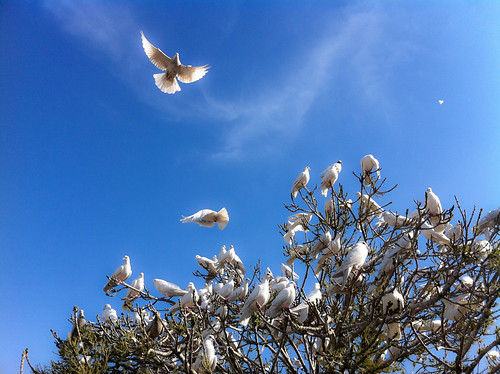 White Doves at the Blue Mosque