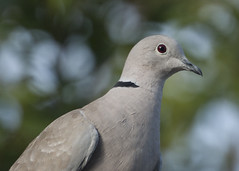 Portrait of a Collared Dove (Ross M D) Tags: uk wales yard garden neck dove north nikond50 ring common collareddove rossmd