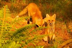 MAP2412 Fox KitsAlert and Not (maryanne.pfitz) Tags: red nature animal forest mammal photo sitting wildlife watching fox kits ferns sniffing redfox photocontesttnc11