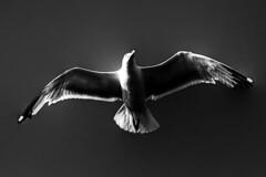 HC (chemation) Tags: bw byn seagull gaviota tepasaste anawesomeshot artofthelight