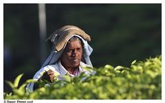 working hard..... (Naseer Ommer) Tags: expedition work canon tea hard beverages tamilnadu plantations valparai teaplantations teaplucker naseerommer canoneos40d malayalikkoottam expeditiontodewilderness kfm3