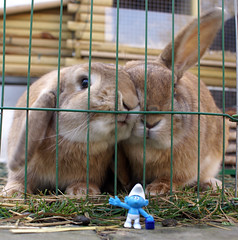Smurf's up! (Sjaek) Tags: uk pet pets cute rabbit bunny animal outside fluffy pip smurf
