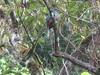 Female Quetzal (Firestar779) Tags: birds costarica centralamerica quetzals southquetzals southamericaquetzals