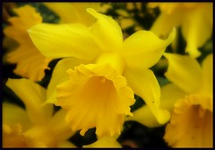 And the daffodils look lovely today. (brynmeillion - JAN) Tags: flower yellow fdsflickrtoys searchthebest daffodil blodyn melyn naturesfinest thecranberries beautifulcapture abigfave flickrgold anawesomeshot diamondclassphotographer flickrdiamond ysplix brillianteyejewel goldstaraward daffodillament andthedaffodilslooklovelytoday genhinenpedr