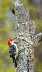 Woodpecker 4 (pjnr56) Tags: birds newjersey nikond50