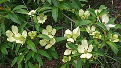 Cornus capitata (V@n) Tags: may arboretum 2008 cornel cornus vanswearingen cornaceae capitata alac lx2 cornuscapitata