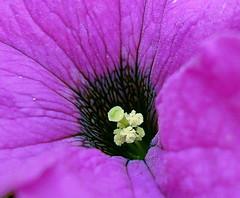 Petunia (Sirkku :)) Tags: flowers finland explore fantasticflower golddragon mywinners abigfave sirkku theunforgettablepictures goldstaraward