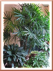 Potted Lady Palm, standing tall above the rest, at our front garden porch