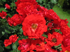 Roses / Rosa / () (TANAKA Juuyoh ()) Tags: red flower rose high rosa hires hi  res  g7     flowerpicturesnolimits