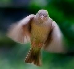 Sparrow Landing (NikonJim) Tags: bird flying flight sparrow 70300mmf456g d300 allrightsreserved capturenx2