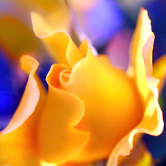 the happiest flower.... (janoid) Tags: summer rose yellow happy bravo xo radiant applause onblue besitos janslightstyle janalicious janoidmagic janoidsstyle ttttttttttttttttttttttt dancingwiththesunlight youroneheckofaphotog