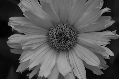 Black And White Pictures Of Flowers. lack and white flowers