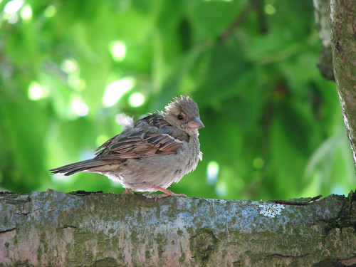 Juvenille House Sparrow