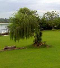 Punjab (just_punjabi) Tags: india tree punjab boatclub satluj ropar weepingwillo