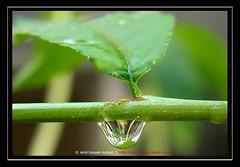 - Water Drop (amirhosseinakbari) Tags: green nature wet water leaf stem drop rainy