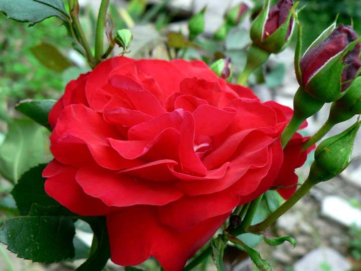 Crimson Sky Rose