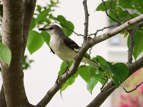 Mockingbird side view