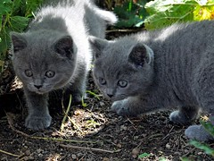 Explorer (Buntekuh) Tags: cats pets animals candy gatos wendy charly katzen dimilnchenskittens kartuser carthusiancats