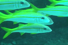 Yellow Goatfish / Mulloidichthys vanicolensis /  (TANAKA Juuyoh ()) Tags: fish yellow video underwater diving   goatfish  yellowstripe yellowfin mulloidichthys   vanicolensis taxonomy:binomial=mulloidichthysvanicolensis