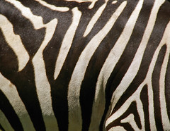 zebra pattern (itchybana) Tags:
