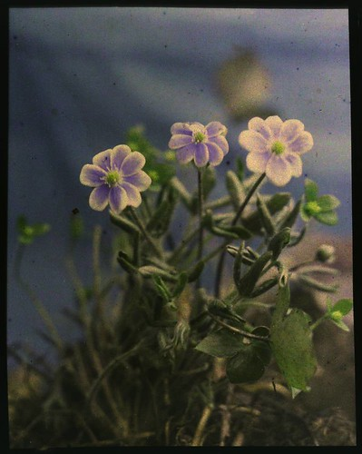 Plant with blue-violet flowers