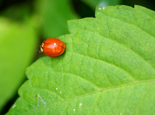 Harmonia axyridis - Multicolored Asian Lady Beetle (1)