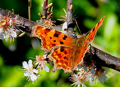 butterfly on blossom (earlyalan90 away awhile) Tags: artcafe naturesfinest theunforgettablepictures goldstaraward vosplusbellesphotos worldglobalaward globalworldawards spectacularmacro