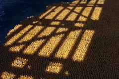 30,000 ducks behind bars