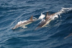 Delphinus delphis (mixalifoto) Tags: sea mammal marine meer dolphin wildlife atlantic dolphins pico whales delfin wale cetaceans delfine acores azoren delphinusdelphis