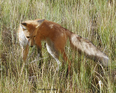 Red Fox - Jackson, WY (Dave Stiles) Tags: searchthebest fox tetons redfox vulpesvulpes supershot jacksonwy ar1 specanimal platinumphoto theunforgettablepictures
