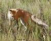 Red Fox - Jackson, WY (Dave Stiles) Tags: searchthebest fox tetons redfox vulpesvulpes supershot jacksonwy ar1 specanimal platinumphoto theunforgettablepictures