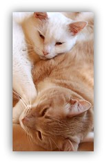Purrfect Pair (Gail S) Tags: cats buddies kitty pinky theboys thepuss