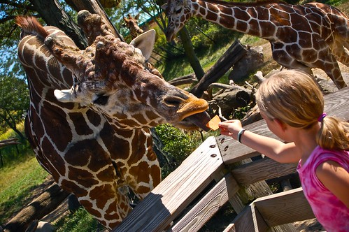 Livi feeds giraffe