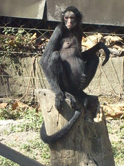 Macaco (kuwer) Tags: zoo safari macaco bicho
