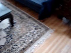 Catnip Stoners (Miss Molly Magoo) Tags: blue orange cats cat silver tabby maine coon catnip cameo growling catnipaddicts