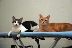 katinėliai darbininkai lygina