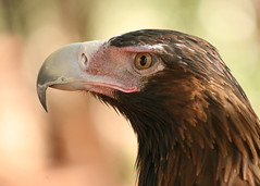 Wedge-tailed Eagle (Greg Miles) Tags: wedgetailedeagle aquilaaudax avianexcellence abcopen:project=upclose