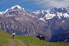 Berner Oberland (will_cyclist) Tags: alps cycling switzerland cows biking lauterbrunnen berneroberland cowsx