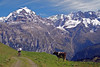 Berner Oberland (will_cyclist) Tags: alps cycling switzerland cows biking lauterbrunnen berneroberland cowsx