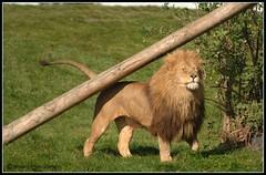 Male Lion (Brisco's) Tags: wild cat wildlife maine lion safari bigcat
