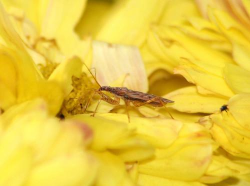 Nabidae damsel Bug